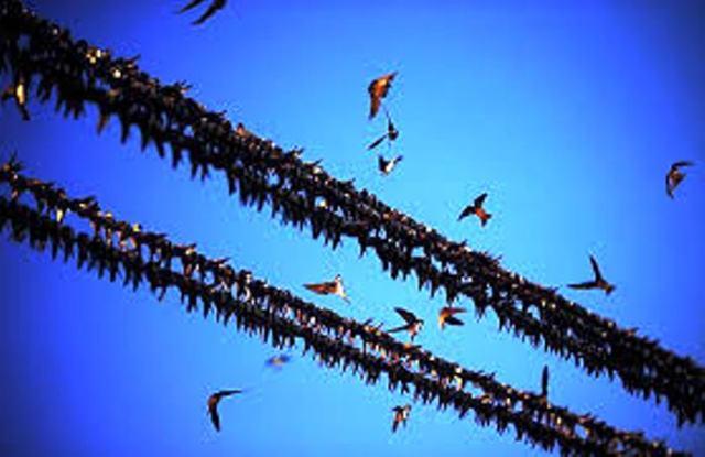 Pigeon x2
